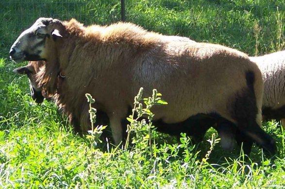 What is a Hair Sheep?   The Paradise Fibers Blog