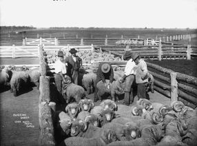 classing_sheep_from_the_powerhouse_museum_collection.jpg (512×379)
